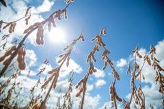 Soia della piantagione del giacimento della soia Fotografia Stock