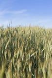 Soicate,耳朵,角宿,钉,有芒,玉米,植物,绿色,收获,五谷,谷物,庄稼, frumenty,麦子,黄色,阳光,太阳, su 图库摄影