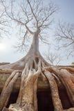 Soie-coton s'élevant le long de la clôture, merci temple de Prohm, Angkor Thom, Siem Reap, Cambodge Photos stock