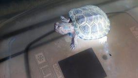 Soie la tortue Photographie stock libre de droits