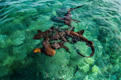 Soignez Sharks Gathering dans l'expectative de l'amorce au requin Ray Alley outre de l'île de matoir de Caye à Belize, des Caraïb image stock