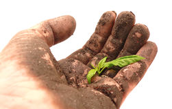 Soil-caked hand holding a young green sprout Stock Image