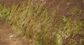 Soil cliff with moss and small plants grow in bogor indonesia Stock Photography