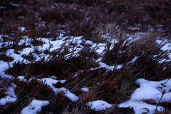 Soil covered with red moss, dry light-brown grass and melting sn. Ow on a blurry brown background Stock Photos