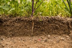 Soil cut and Growing plant with underground root visible. Close up shot royalty free stock photo