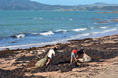 Soil enriching - Seaweed. CABLE BAY,NZ-MAR 17:People collect seaweed from the beach on Mar 17 2014.The use  of washed seaweed for soil enriching in New Zealand Stock Photos