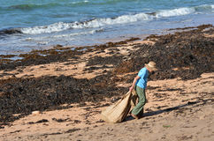 Soil enriching - Seaweed. CABLE BAY,NZ-MAR 17:Woman collect seaweed from the beach on Mar 17 2014.The use  of washed seaweed for soil enriching in New Zealand is Royalty Free Stock Photo