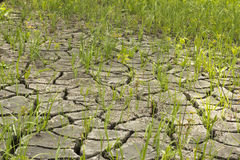 Soil and grass during drought cracks. In the land of drought Royalty Free Stock Image