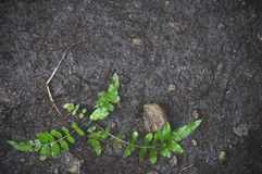 Soil on ground with new born of Green leaf texture background. Tropical leave foliage are shaped like tiny spikes Royalty Free Stock Photos