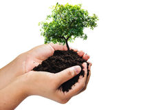 Soil in hands , Hands dirty with clay with tree on white background.  Royalty Free Stock Image