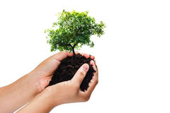 Soil in hands , Hands dirty with clay with tree on white background.  Royalty Free Stock Photos
