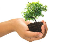 Soil in hands , Hands dirty with clay with tree on white background.  Royalty Free Stock Photography