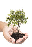 Soil in hands , Hands dirty with clay with tree on white background.  Stock Photos