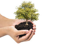 Soil in hands , Hands dirty with clay with tree on white background.  Royalty Free Stock Photo