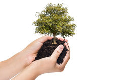 Soil in hands , Hands dirty with clay with tree on white background.  Royalty Free Stock Images