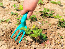 Soil loosening near strawberry Stock Images