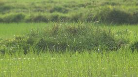 Soil pile cover with weed in paddy field stock footage
