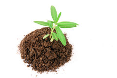 Soil and plant Royalty Free Stock Image