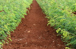 Soil & Plants. Rich red fertile soil and plants in a row Royalty Free Stock Images