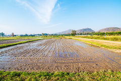 Soil preparation for planting new season of rice farm. Stock Images