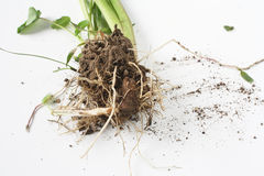 Soil and root Royalty Free Stock Photo