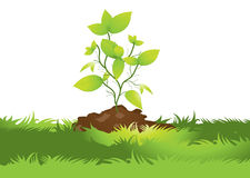 Soil and seedlings. Grounded on a white background seedlings Stock Photo