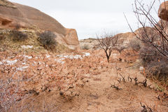 Soil and young shoots of grapes grow in cold soil of a mountain valley Stock Photography