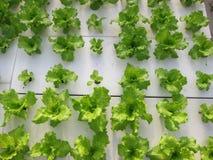 Soilless Agricultureï ¼ Royalty-vrije Stock Fotografie