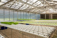 Soilless agriculture of green vegetables. In greenhouse stock photography