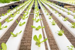 Soilless agriculture of green vegetables. In greenhouse royalty free stock images