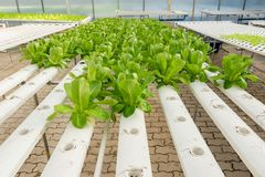 Soilless agriculture of green vegetables. In greenhouse royalty free stock photo