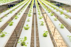 Soilless agriculture of green vegetables. In greenhouse royalty free stock photography