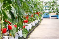 Soilless bell pepper culture. Red sweet bell pepper growing in soilless culture greenhouse royalty free stock photo