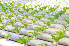 Soilless cultivation of green vegetable seedlings in a botanical. Garden, north China royalty free stock images