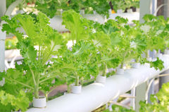 Soilless cultivation of green vegetables Royalty Free Stock Image