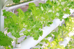 Soilless cultivation of green vegetables Royalty Free Stock Photos