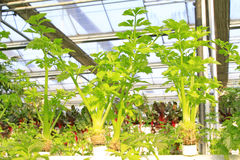 Soilless cultivation of green vegetables Stock Photos