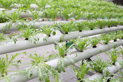 Soilless cultivation technology - Endive. Agriculture royalty free stock photos
