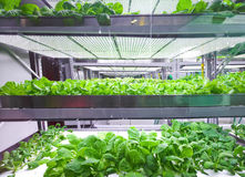 Soilless cultivation of vegetables. Greenhouse soilless cultivation of vegetables stock photo