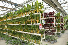 Soilless cultivation vegetables Stock Photo