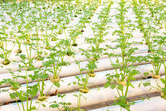 Soilless cultivation of vegetables Stock Images