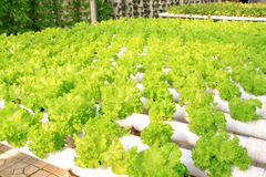 Soilless cultivation of vegetables Stock Photography