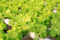 Soilless cultivation of vegetables Stock Photo