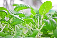 Soilless culture bok choy Stock Photography