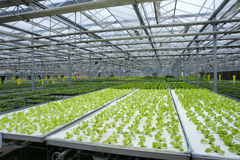Soilless greenhouse. The indoor view of soilless greenhouse stock images