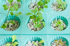 Soilless or hydroponic. Seedling of soilless or hydroponic vegetable stock photos