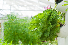 Soilless or hydroponic. On shiny morning stock photography