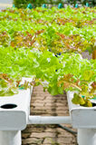 Soilless or hydroponic. On shiny morning stock image