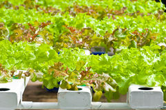 Soilless or hydroponic. On shiny morning royalty free stock photography