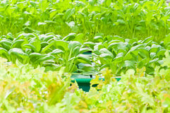 Soilless or hydroponic. On shiny morning royalty free stock images